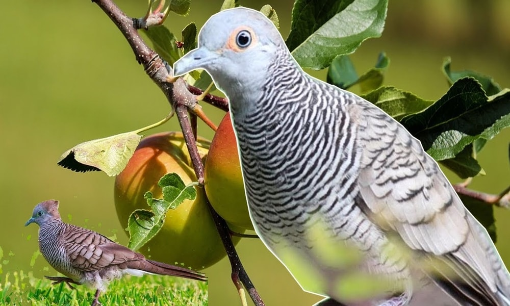 Arti Burung Perkutut Bunyi Di Malam Hari