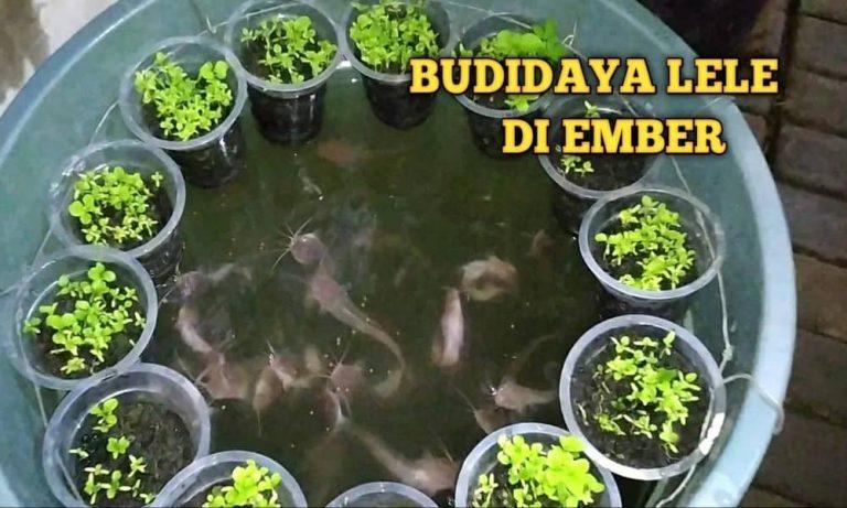 Cara Ternak Lele di Ember